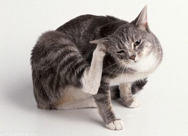 Паразиты у кошек