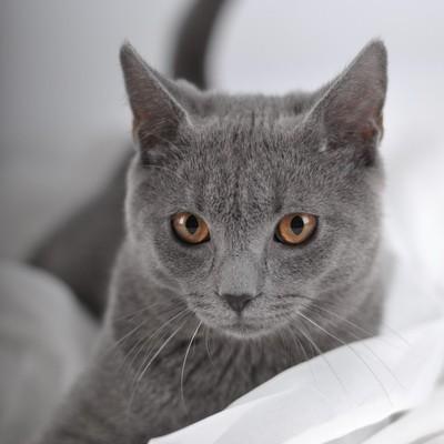 Картезианская кошка — шартрез
