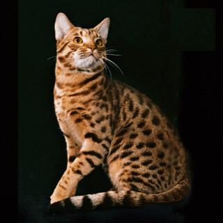 Оцикет: 🐆 пятнистая домашняя порода кошек