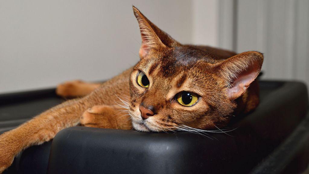 Кошка абиссинской породы фото.jpg
