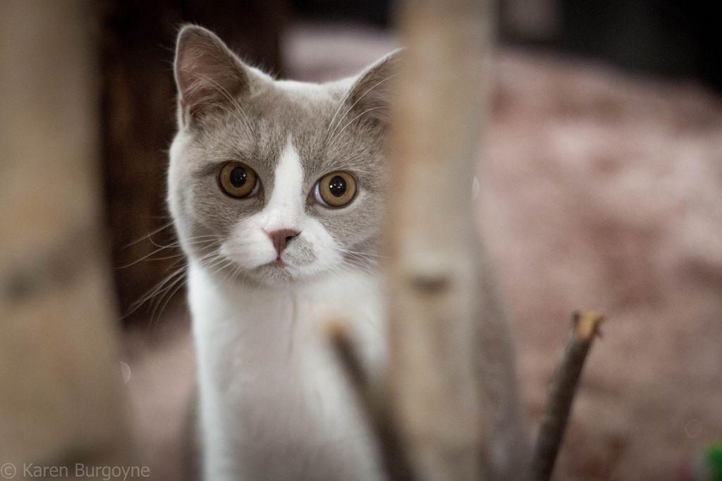 Кот скоттиш страйт биколор.jpg