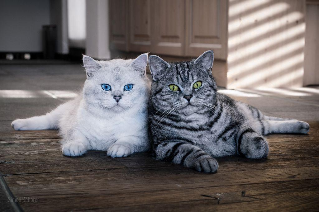Британская кошка с голубыми глазами.jpg