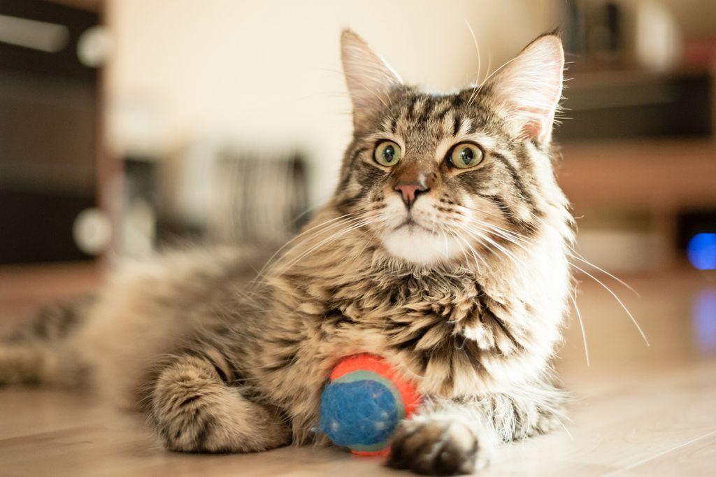 Кошка мейнкун фото.jpg