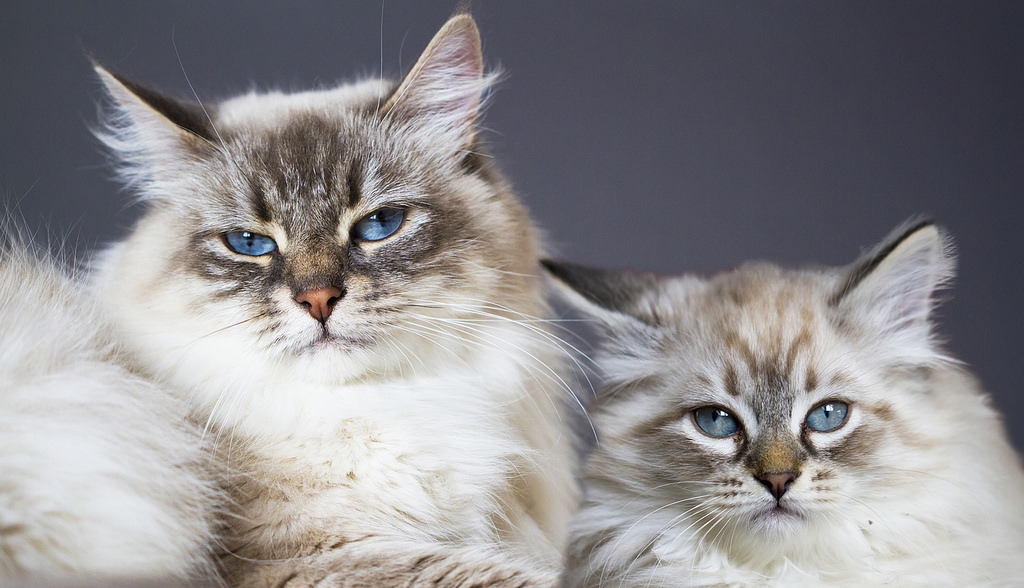 Кошка и котёнок маскарадной породы.jpg