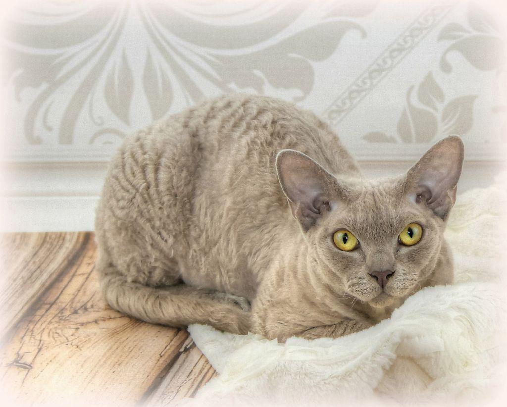 Кот девон-рекс.jpg