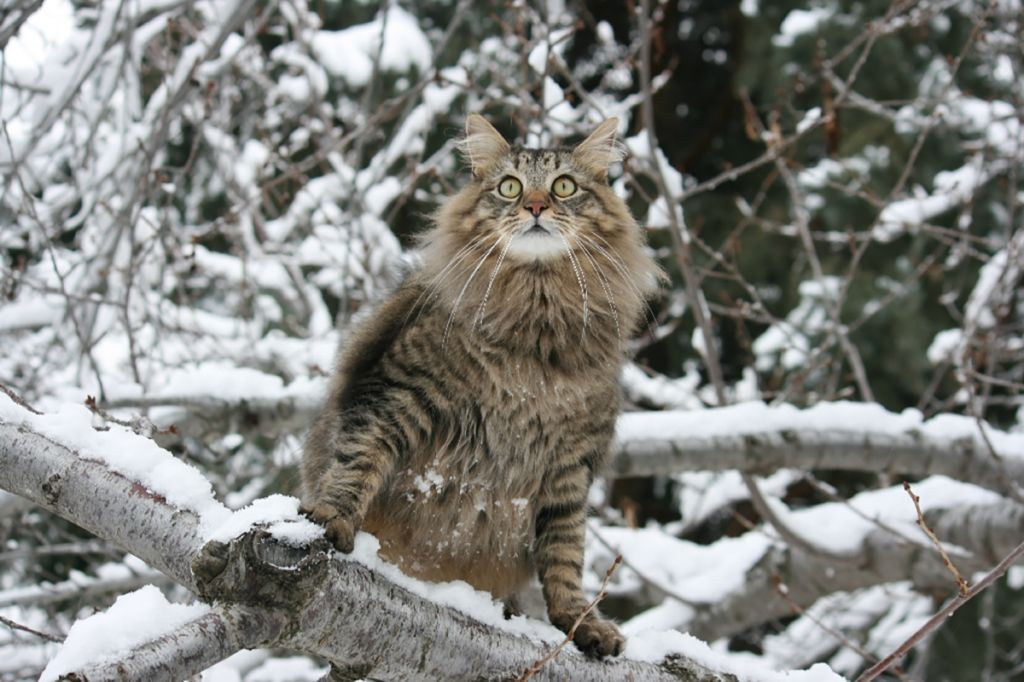 Кот мейн-кун фото.jpg