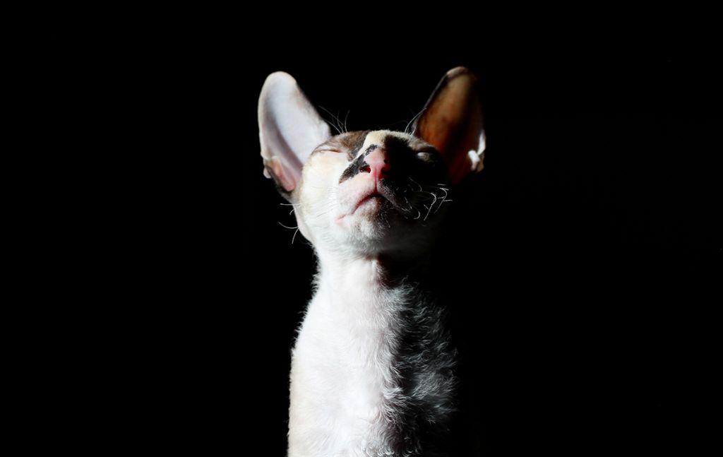 Кудрявая кошка корниш-рекс.jpg