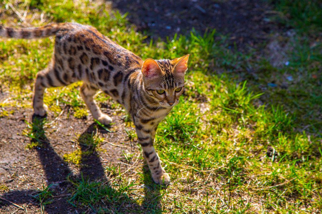 Бенгальский кот с блестящей шерстью.jpg