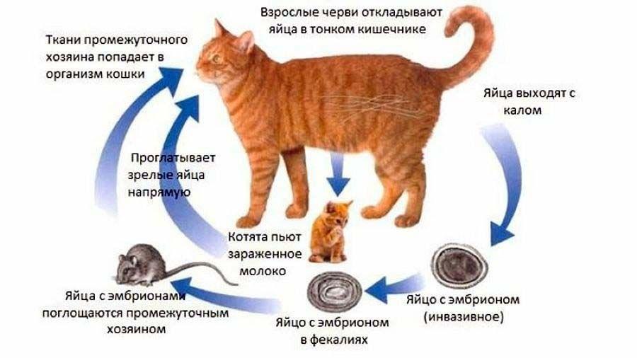 Как глисты попадают в организм кошки.jpg