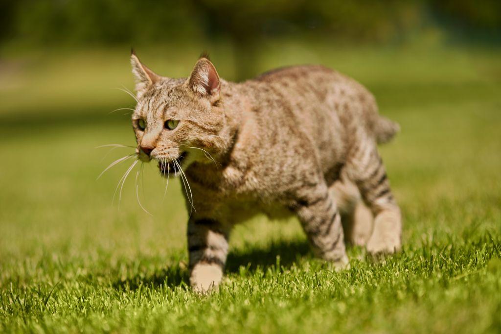 использованием живых фото пиксибоб кошек неё воду