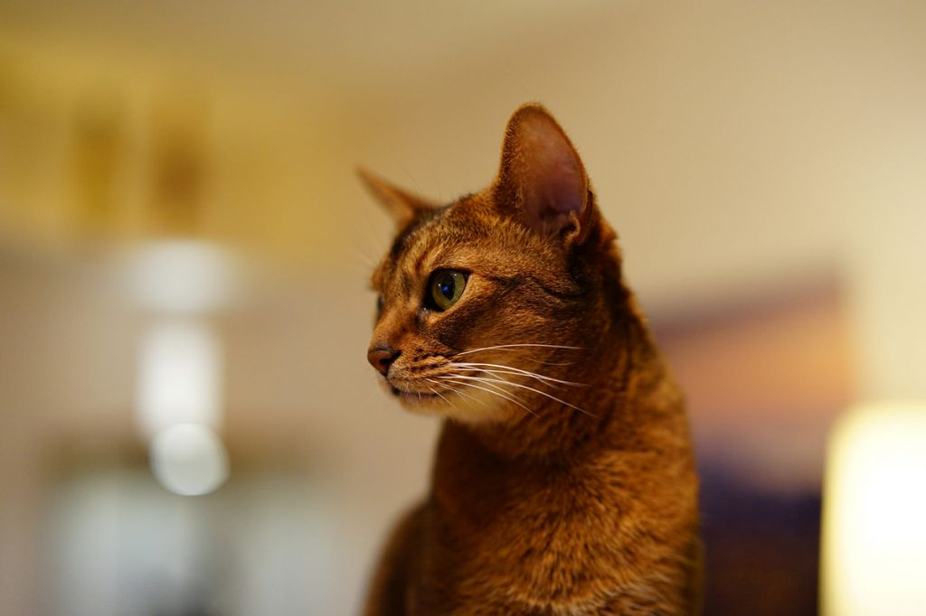Абиссинская кошка соррель.jpg