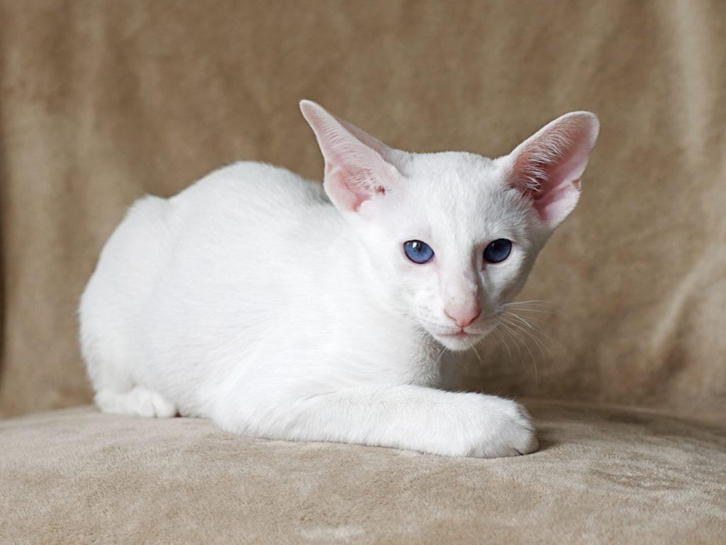 Белая кошка Форин вайт.jpg