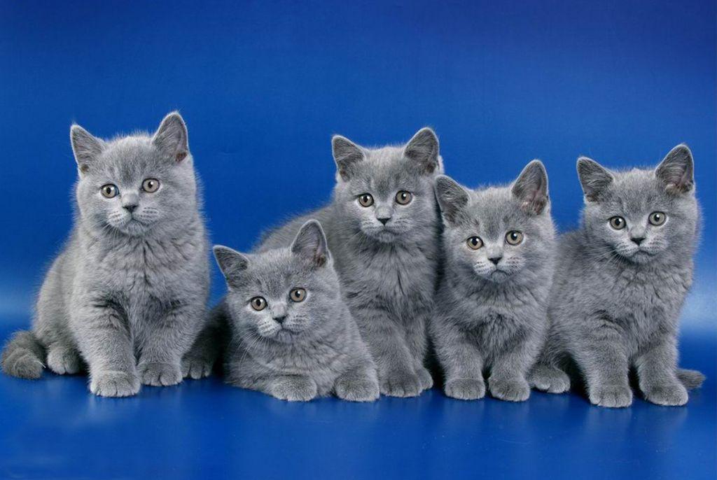 Все о британской породе кошек: фото и описание, характер, цена ... | 686x1024