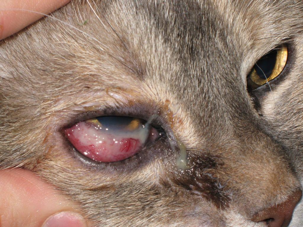 Картинки кошачьих болезней