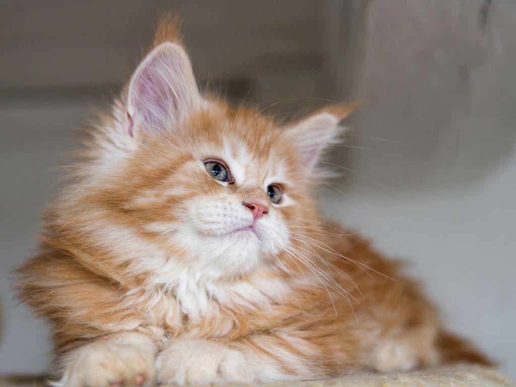 Котёнок мейн куна фото.jpg