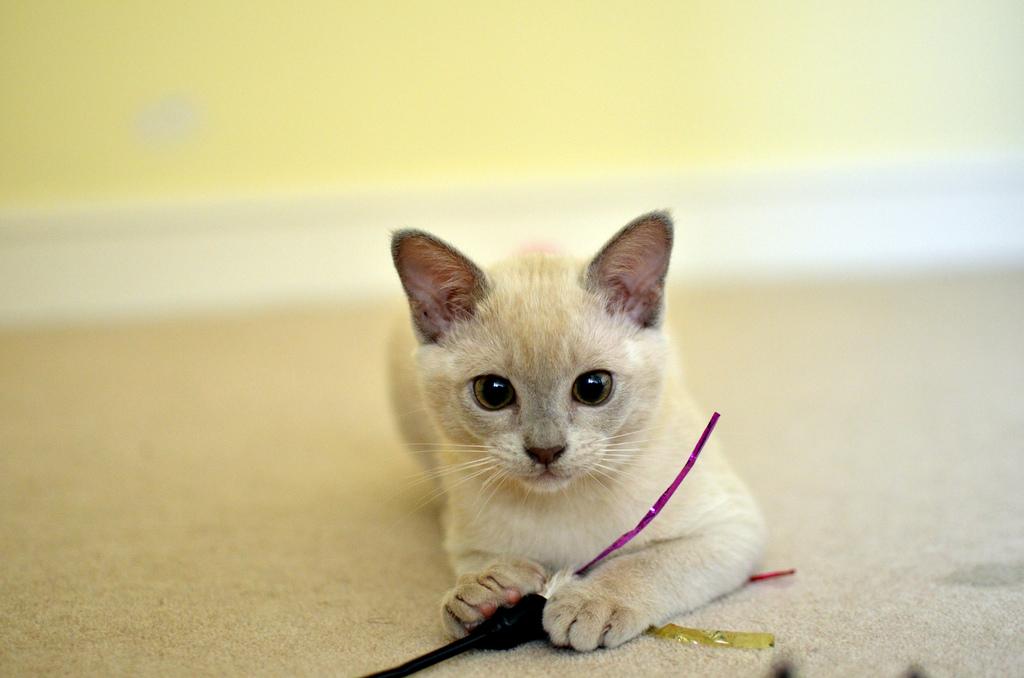 Котёнок породы бурма фото.jpg