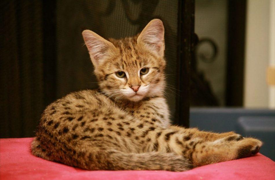 Котёнок ашеры фото