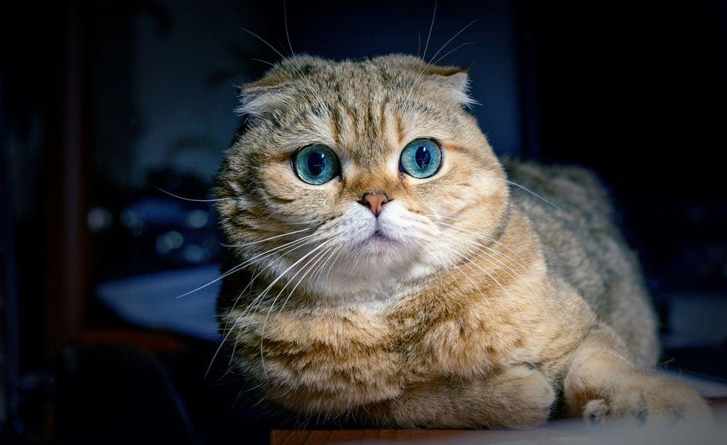 Шотландская вислоухая кошка с голубыми глазами.jpg