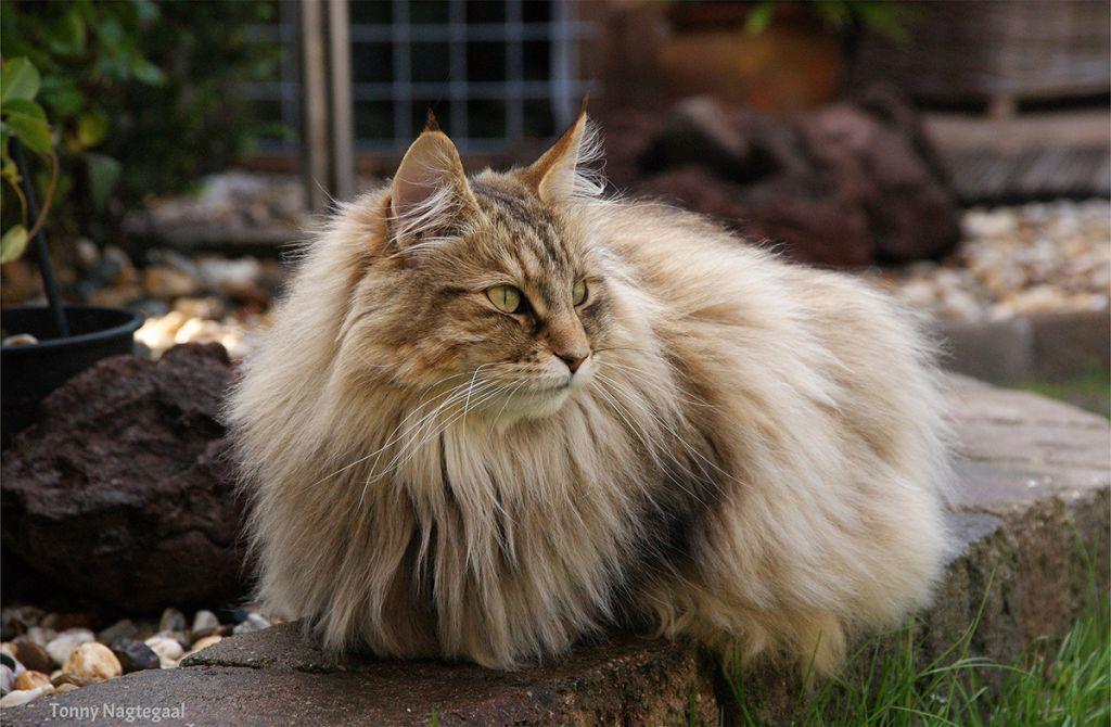 Норвежский лесной кот.jpg