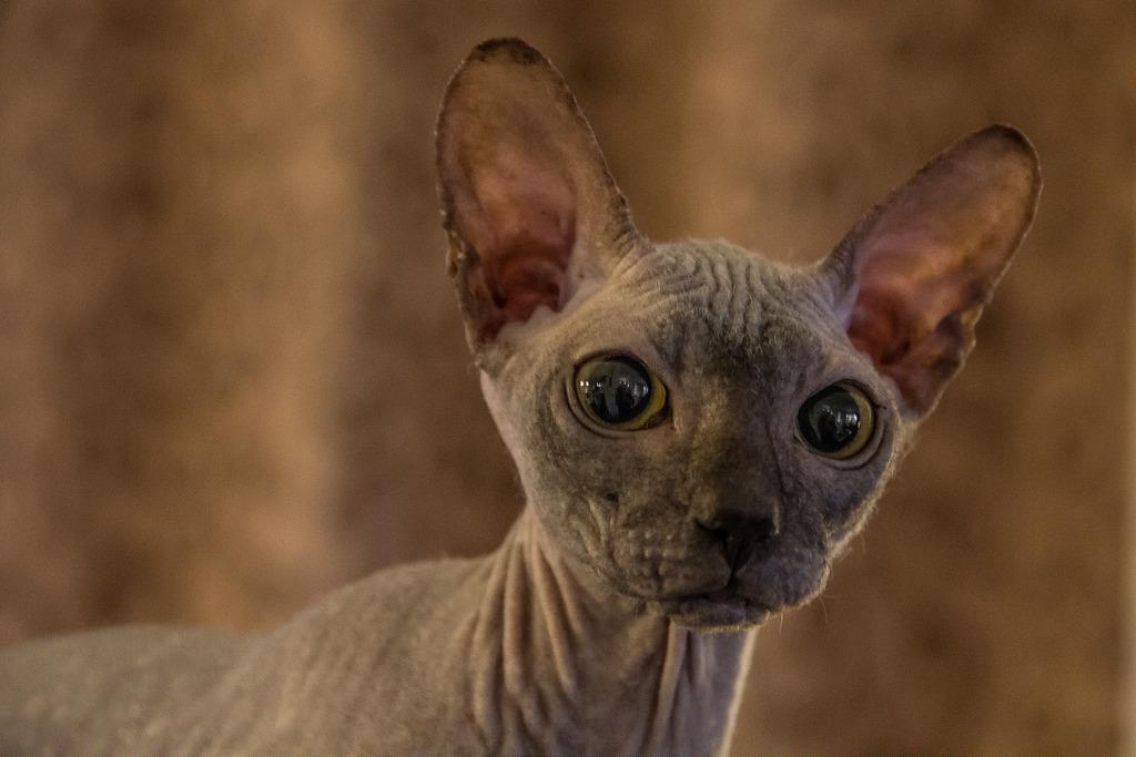 Донская кошка сфинкс фото.jpg