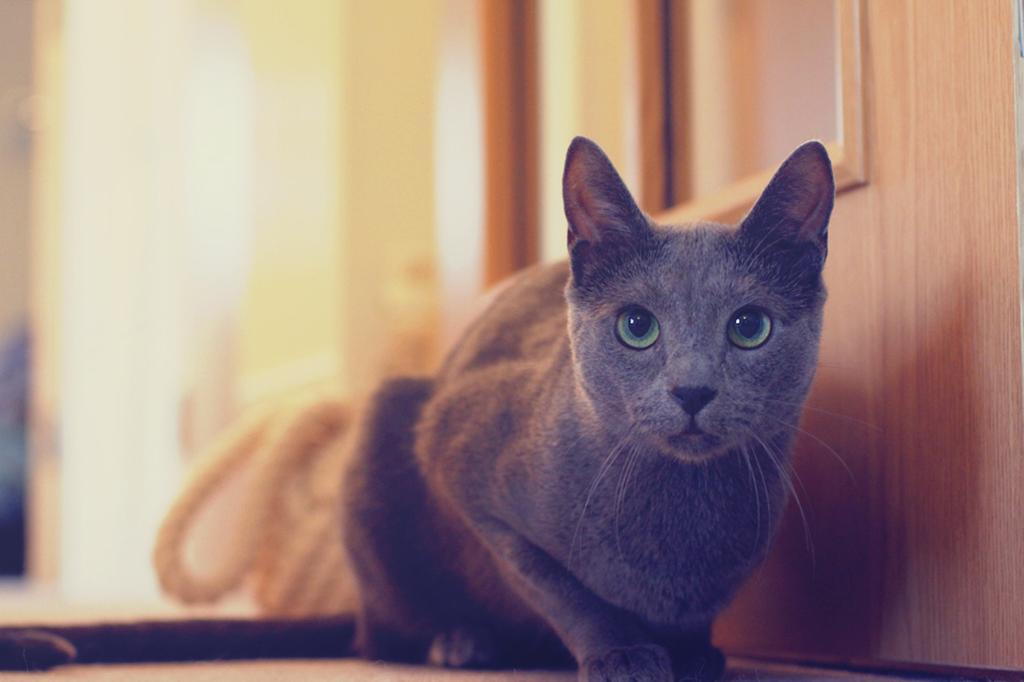 Русская голубая порода кошек фото.jpg