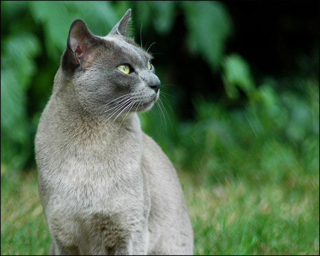 Бурманская голубая кошка фото.jpg