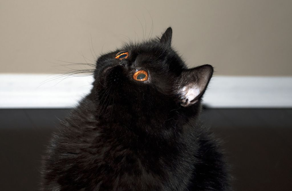Черная экзотическая короткошерстная кошка.jpg