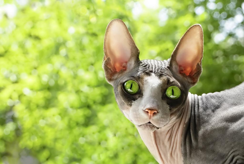 Канадская кошка с зелёными глазами.jpg