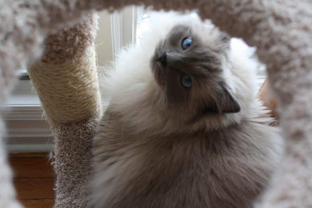Рэгдолл кошка фото.jpg