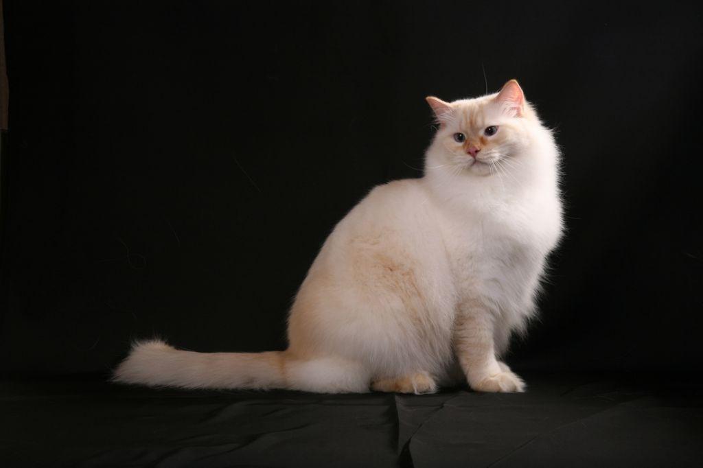 Кот рэгдолл с рыжим оттенком.jpg