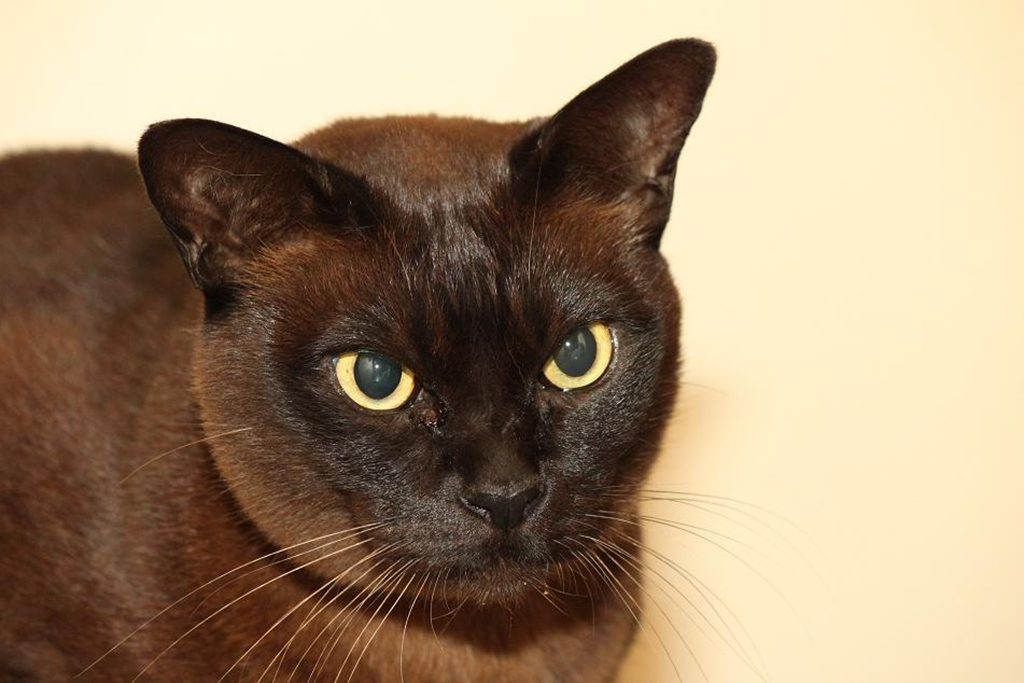 Бурманская кошка шоколадного окраса.jpg