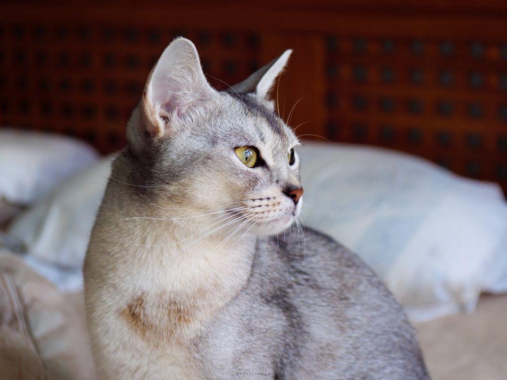 Фото абиссинского кота.jpg