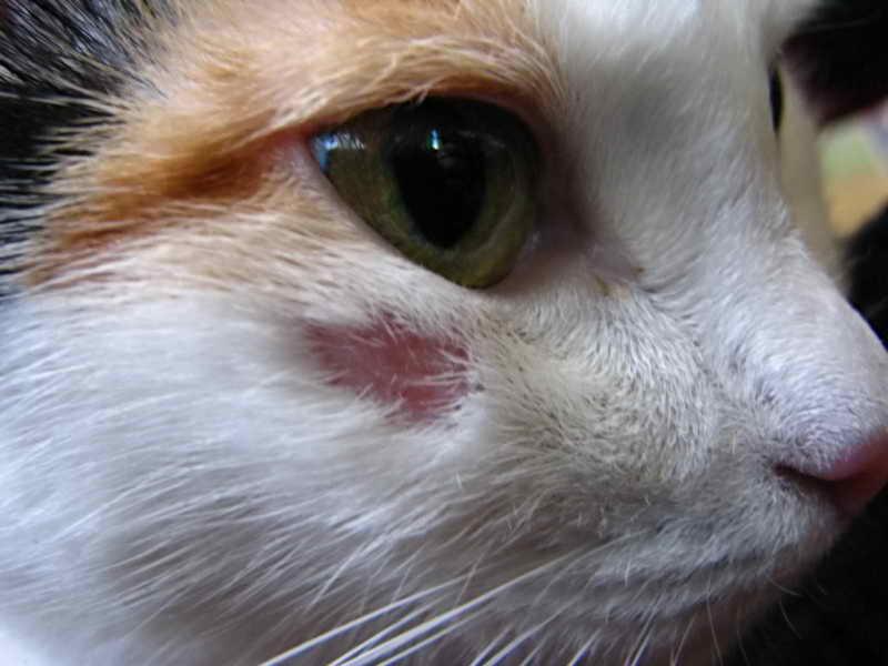 Лишай Жибера у кошки.jpg