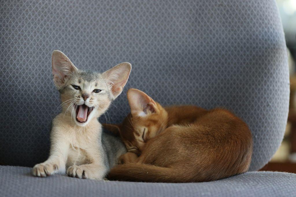 Абиссинские котята фото.jpg