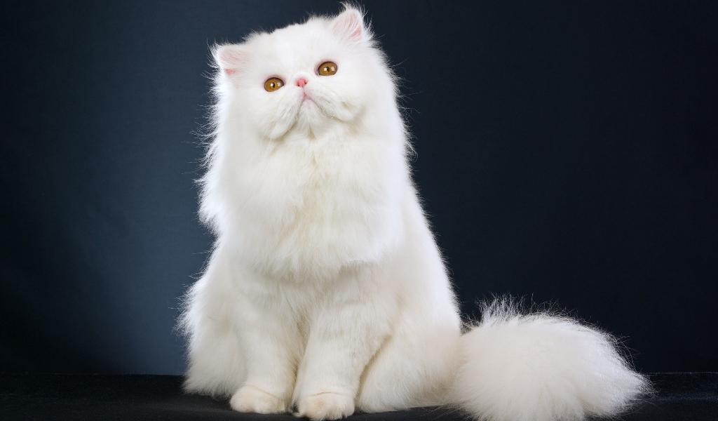 Породистые длинношерстные кошки входят в группу риска