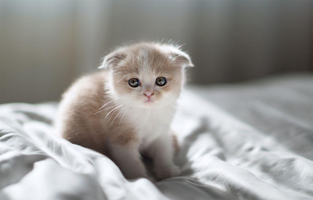 живет деревне картинки шатланский котенок герцог герцогиня сассекские