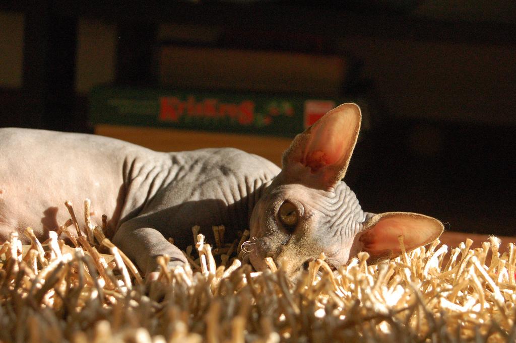 Канадский лысый кот фото.jpg