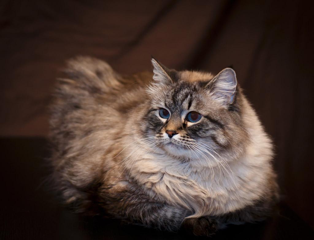 маскарадный кот фото