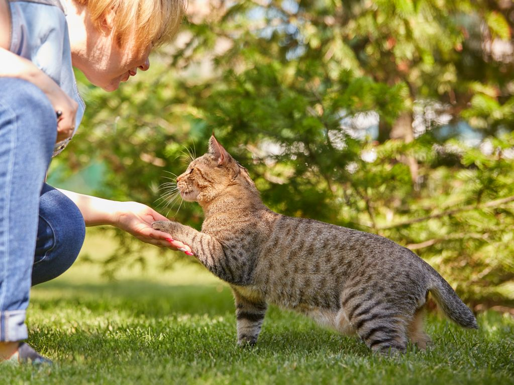 Короткохвостая кошка пиксибоб. Pixie House.jpg