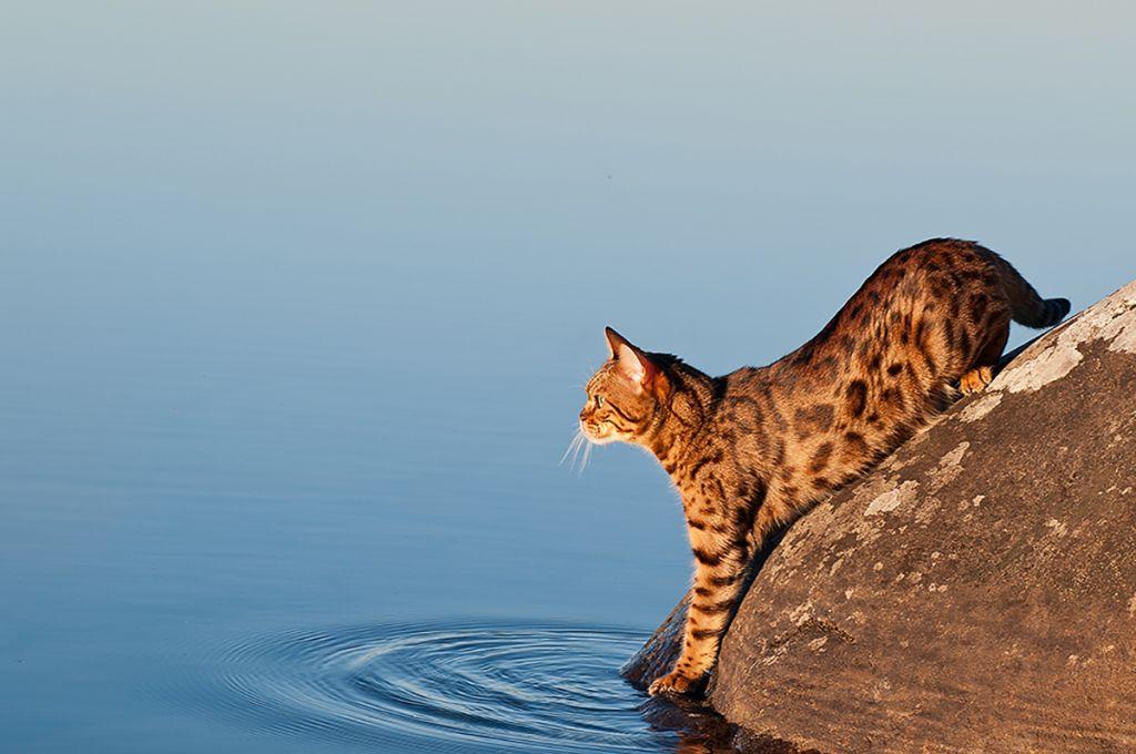 Кот лезет купаться фото.jpg