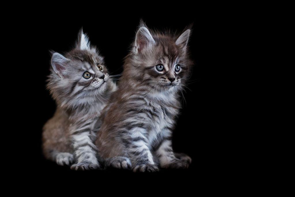 Котята мейн куна фото.jpg