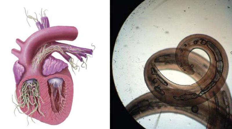 Дирофиляриоз можно лишь приостановить, но он всегда заканчивается гибелью животного