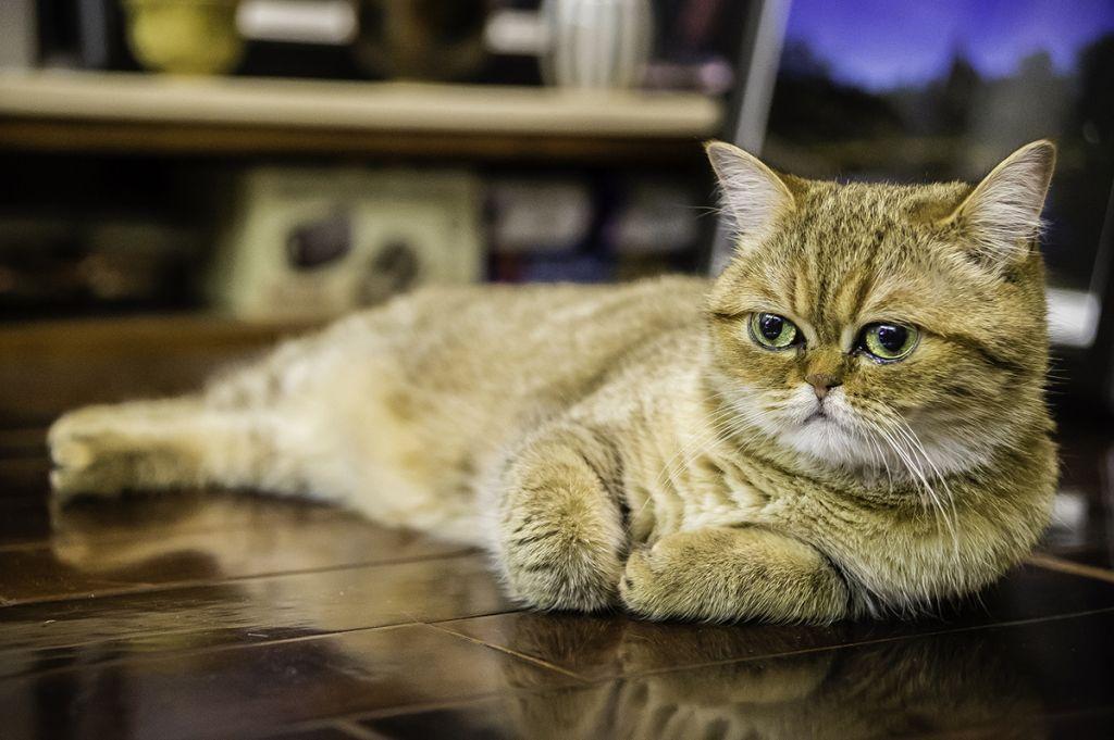 Экзотическая короткошерстная кошка.jpg