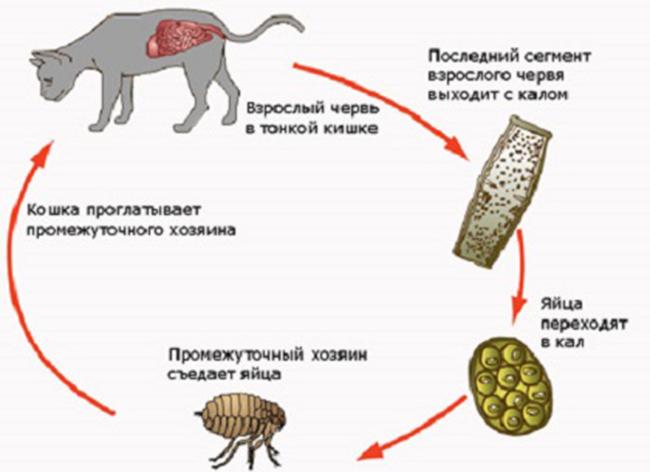 Как паразиты попадают в кошку