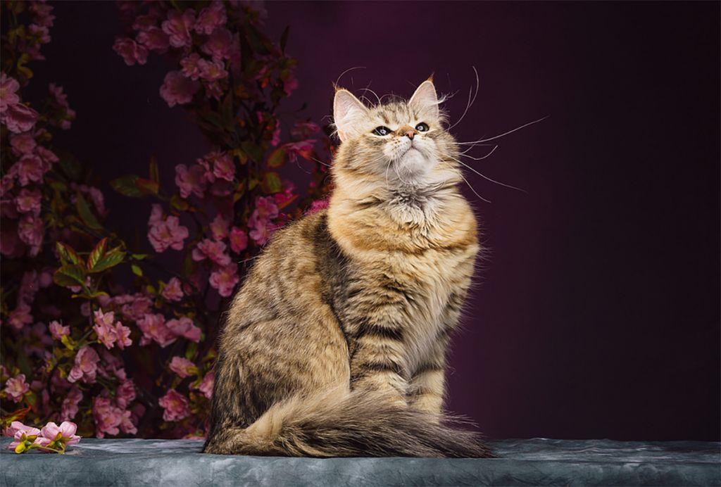 Кошка сибирской породы.jpg