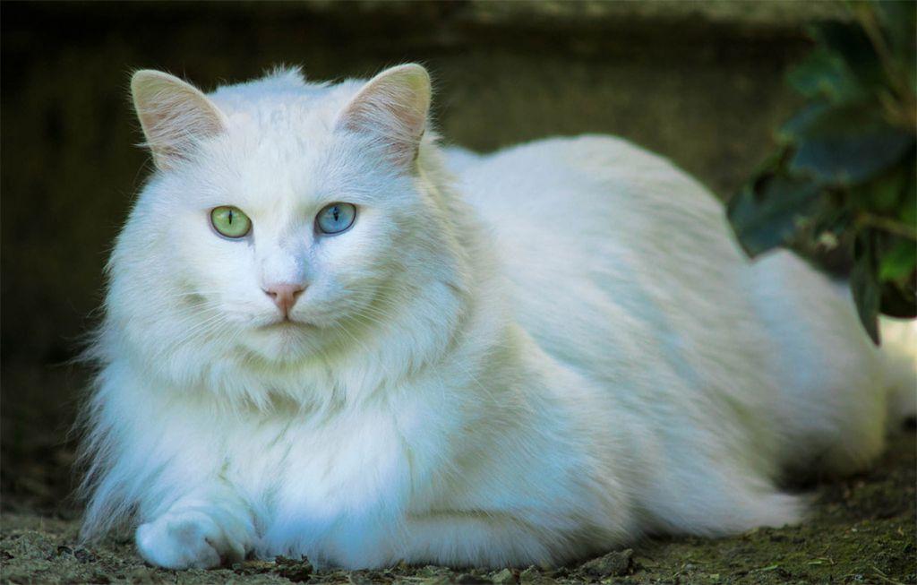 общем картинки ангорского кота мужчин, которые часто