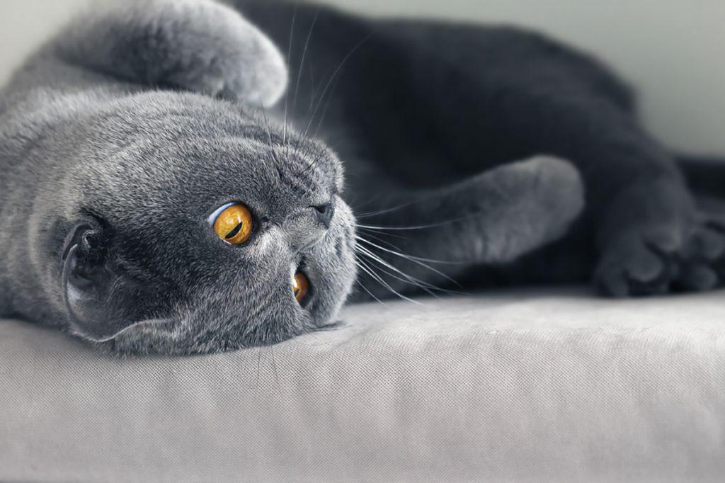 Британская короткошерстная кошка.jpg