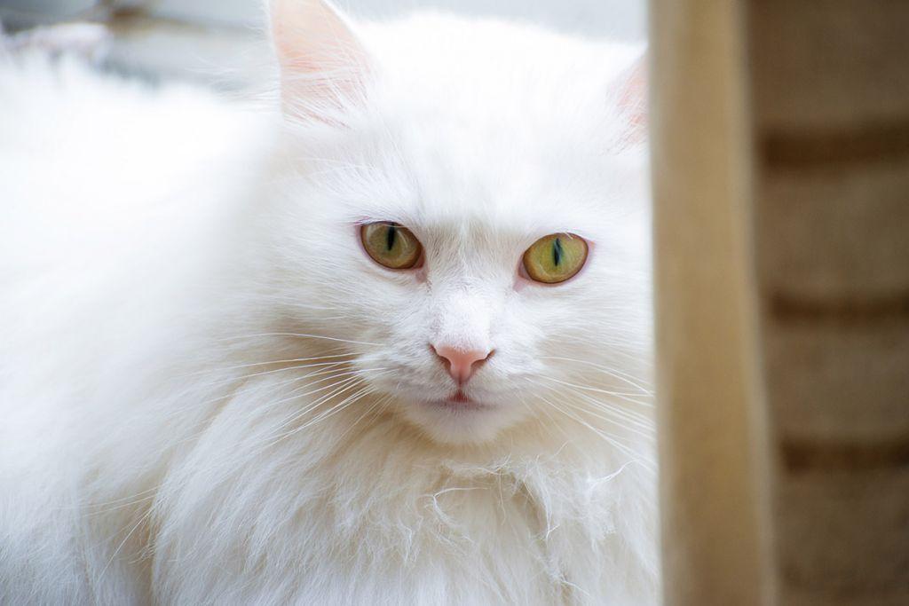 Турецкая ангорская кошка.jpg