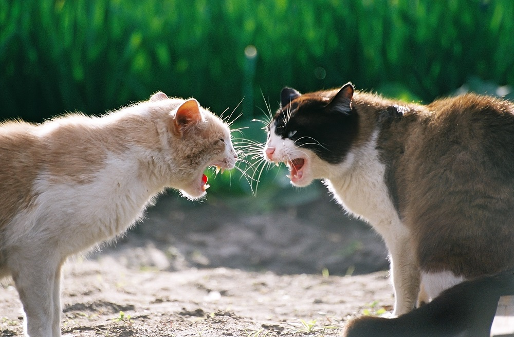 Драка кошек.jpg
