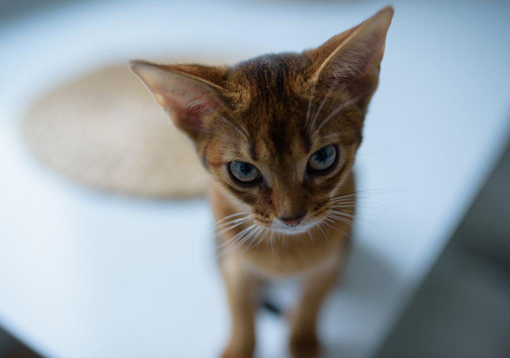 Котёнок абиссинец фото.jpg